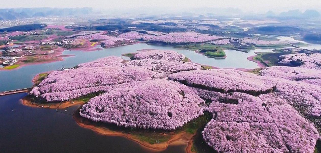 Kwiaty wiśni zakwitły w Chinach, Japonii i Hiszpanii. To najpiękniejszy widok na naszej planecie!