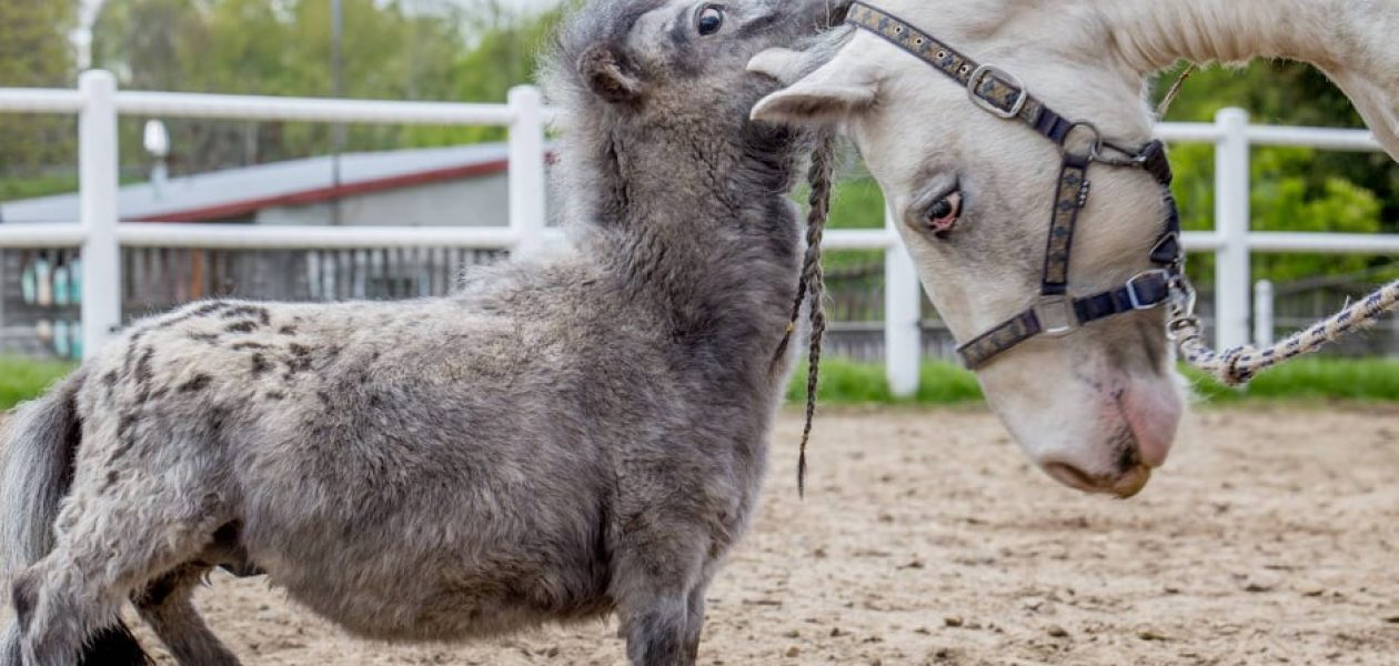 W Łodzi mieszka najmniejszy koń na świecie