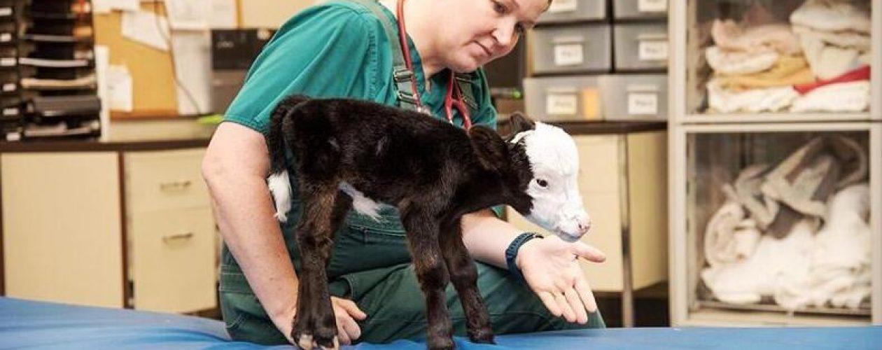 To najprawdopodobniej najmniejsza krowa na świecie!